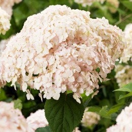 Hortensia Candybelle® Marshmallow