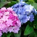 Hortensia macrophylla You & Me Forever®