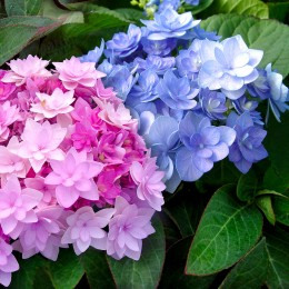 Hortensia macrophylla You & Me Forever®