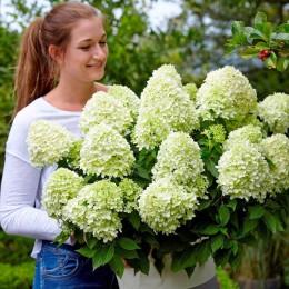 Hortensia paniculata Achterberg