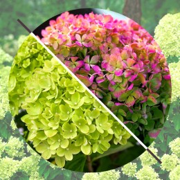 Hortensia paniculata Little Lime®