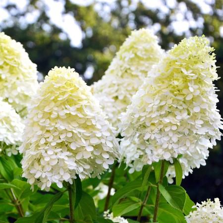 Hortensia paniculata Phantom - Arbusti ornamentali - AgroDenmar.ro