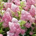 Hortensia paniculata Sundae Fraise