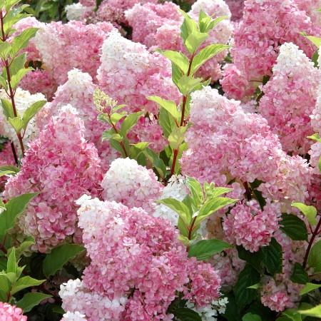 Hortensia paniculata Sundae Fraise - Arbusti ornamentali - AgroDenmar.ro
