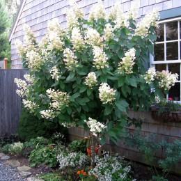 Hortensia paniculata Tardiva - Arbusti ornamentali - AgroDenmar.ro