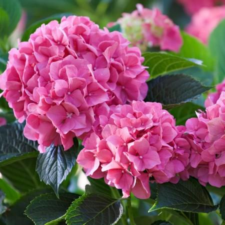 Hortensia roz - Arbusti ornamentali - AgroDenmar.ro