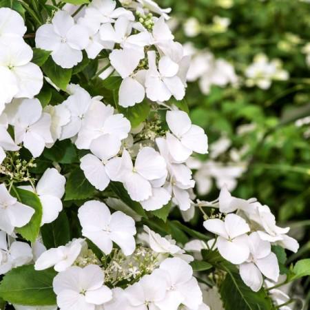 Hortensia Runaway Bride® - Arbusti ornamentali - AgroDenmar.ro