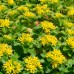 Iarba de Soaldina - Arbusti ornamentali - AgroDenmar.ro