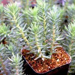 Iarba grasa Creata - Blue Spruce - Arbusti ornamentali - AgroDenmar.ro