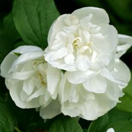 Iasomie batuta - Girandole - Arbusti ornamentali - AgroDenmar.ro