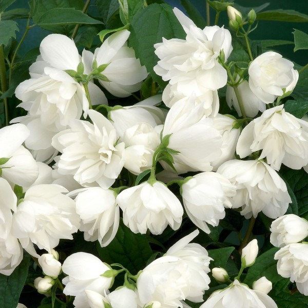 Arbusti ornamentali - Iasomie batuta - Snowbelle