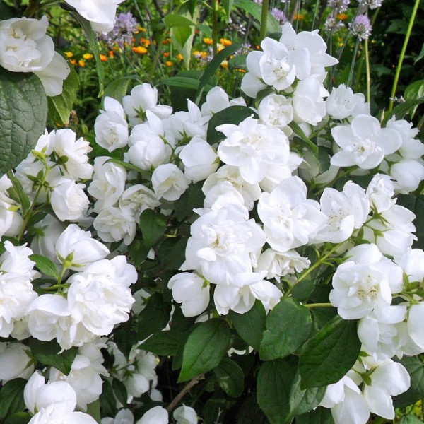 Iasomie batuta - Virginal - Arbusti ornamentali - AgroDenmar.ro