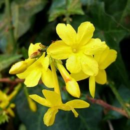 Iasomie de iarna - Arbusti ornamentali - AgroDenmar.ro