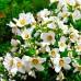 Iasomie Philadelphus Belle Etoile - Arbusti ornamentali - AgroDenmar.ro