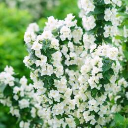 Iasomie Philadelphus Coronarius - Arbusti ornamentali - AgroDenmar.ro
