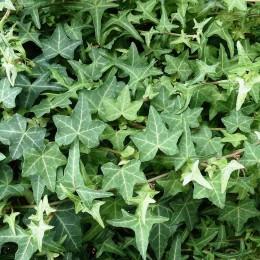 Iedera  - Arbusti ornamentali - AgroDenmar.ro