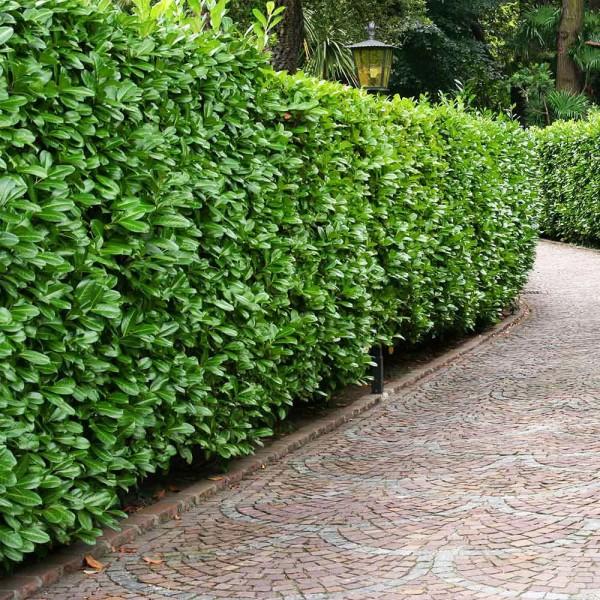 Laur englezesc Novita - Arbusti ornamentali - AgroDenmar.ro