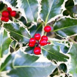 Laur Silver Queen - Arbusti ornamentali - AgroDenmar.ro