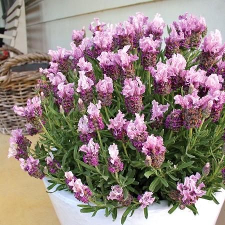 Lavanda Boysenberry Ruffles - Arbusti ornamentali - AgroDenmar.ro