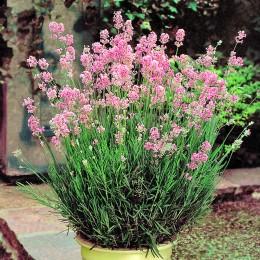 Lavanda Rosea - Arbusti ornamentali - AgroDenmar.ro
