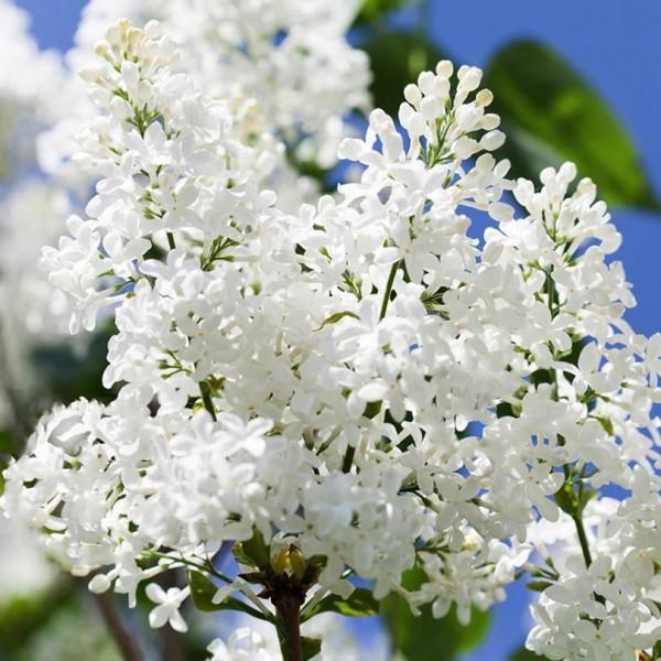 Liliac Alb Agnes Smith - Arbusti ornamentali - AgroDenmar.ro