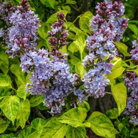 Liliac Aucubaefolia - Arbusti ornamentali - AgroDenmar.ro