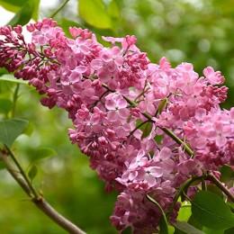 Liliac California Rose - Arbusti ornamentali - AgroDenmar.ro