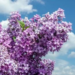 Liliac chinezesc Saugeana - Arbusti ornamentali - AgroDenmar.ro