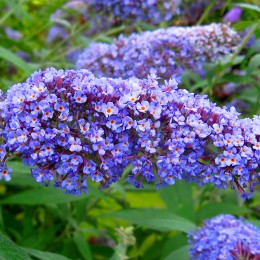 Liliac de vara Dart's Papillon Blue