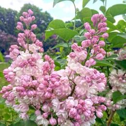 Liliac frumusetea Moscovei - tip copac