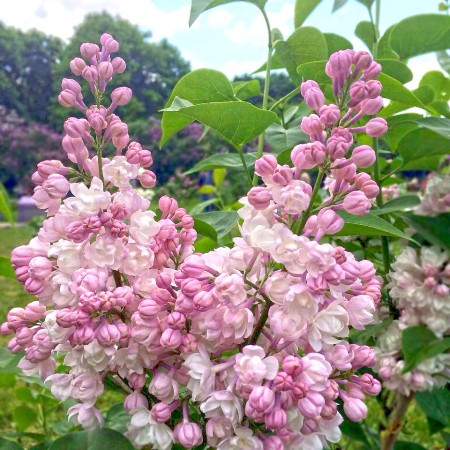 Liliac frumusetea Moscovei - tip copac - Arbusti ornamentali - AgroDenmar.ro