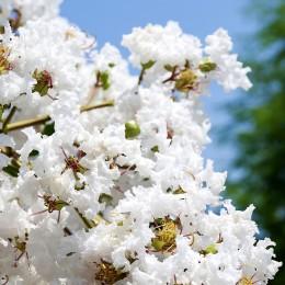 Liliac indian alb - Arbusti ornamentali - AgroDenmar.ro