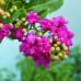 Liliac indian mov - Arbusti ornamentali - AgroDenmar.ro