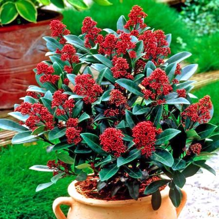 Liliac Japonez Rubella - Arbusti ornamentali - AgroDenmar.ro