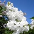 Liliac Miss Ellen Willmott - tip copac