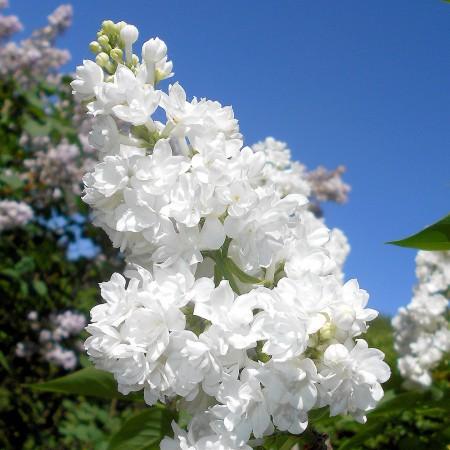 Liliac Miss Ellen Willmott - Arbusti ornamentali - AgroDenmar.ro