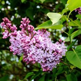 Liliac pitic Palibin - Arbusti ornamentali - AgroDenmar.ro