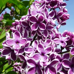 Liliac Sensation