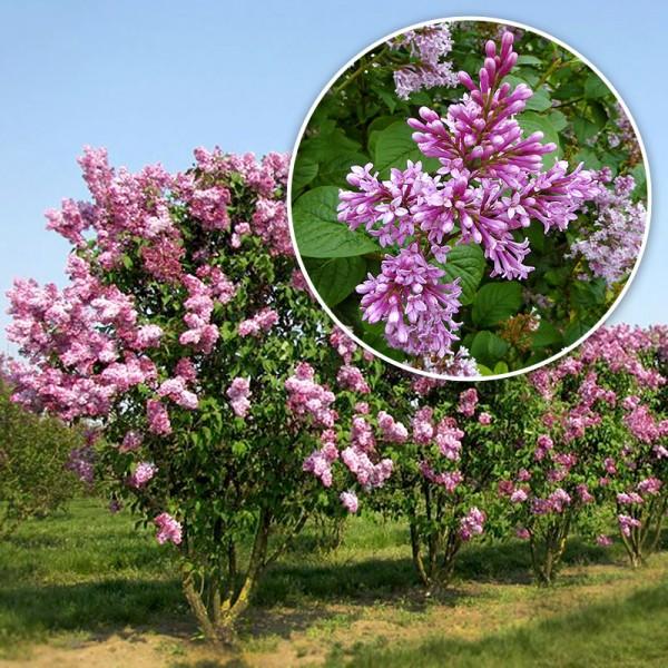 Liliac transilvanean - Arbusti ornamentali - AgroDenmar.ro