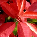 Photinia fraserii Carre Rouge