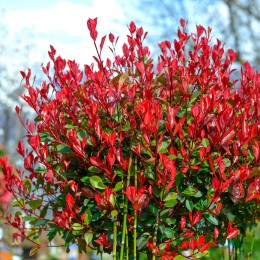 Photinia fraserii Little Red Robin