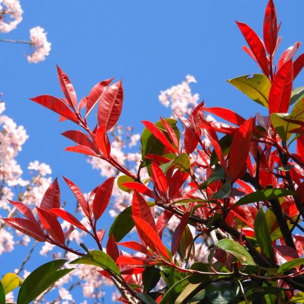 Photinia fraserii Red Robin - Arbusti ornamentali - AgroDenmar.ro