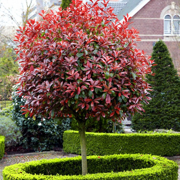 Photinia fraserii Red Robin - Tip pomisor - Arbusti ornamentali - AgroDenmar.ro