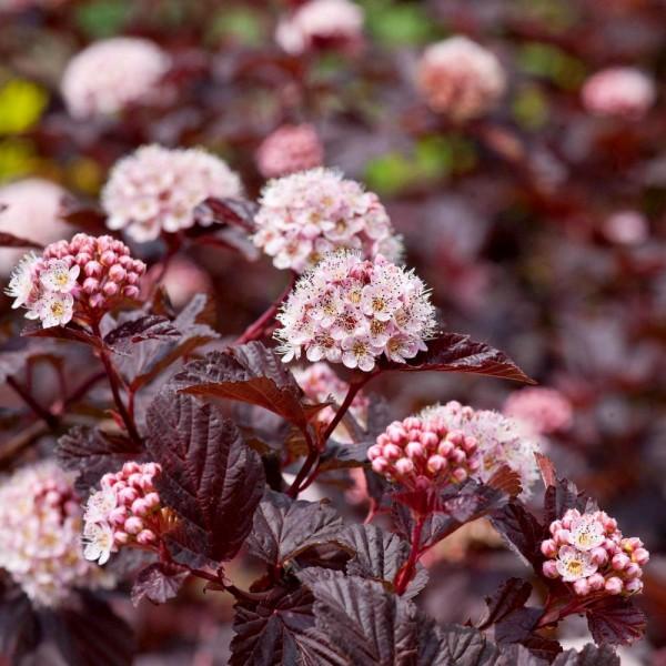 Physocarpus opulifolius Red Baron - Arbusti ornamentali - AgroDenmar.ro