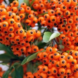 Pyracantha Orange Glow - Arbusti ornamentali - AgroDenmar.ro