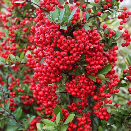 Pyracantha Red Column - Arbusti ornamentali - AgroDenmar.ro