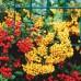 Arbusti ornamentali - Pyracantha Soleil d'Or