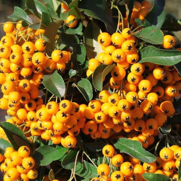 Pyracantha Soleil d'Or - Arbusti ornamentali - AgroDenmar.ro