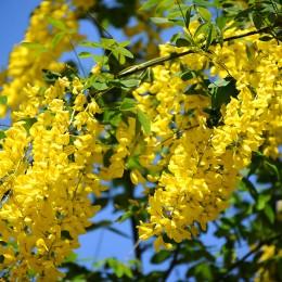 Salcam galben - Arbusti ornamentali - AgroDenmar.ro