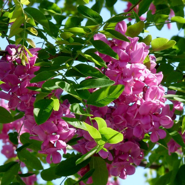 Salcam Roz - Casque Rouge - Arbusti ornamentali - AgroDenmar.ro